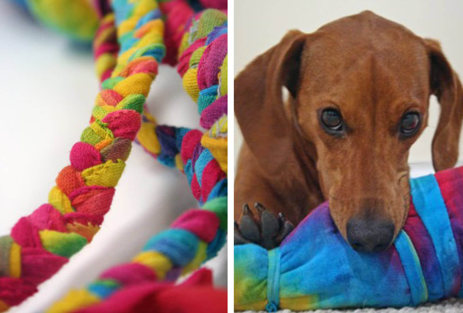 dachshund with a rainbow rope dog toy