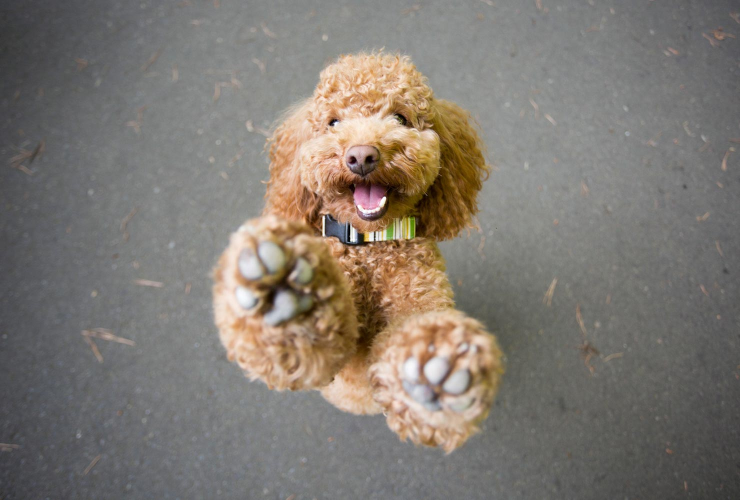 dog picture idea poodle standing